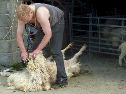 Faithmead shearing